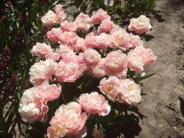 Bioflora - Tulpen
