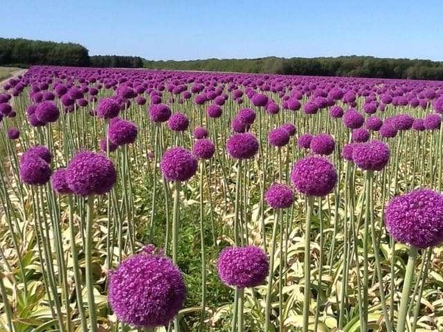 Bioflora - Allium Globemaster